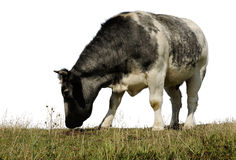 Cow 2. Cow standing in a field eating and isolated from the sky Stock Photo
