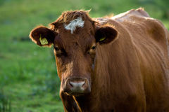Cow 2 Royalty Free Stock Photos