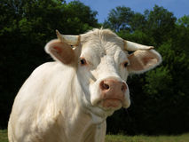 Cow. Blanche posing for the photo Stock Photos