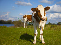 Cow. A dutch cow with blue sky Royalty Free Stock Photo