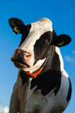 Cow. Close up portrait  of  a young cow against a blue sky. Picture taken with low point of view Royalty Free Stock Photos
