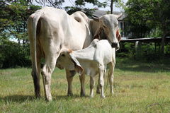 Cow. A little white cow is drinking milk from its mother breasts royalty free stock photography