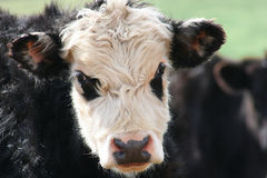 Cow. With a face that looks like a Panda Bear Royalty Free Stock Photo