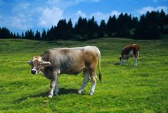 Cow. Looking to camera with green grass and blue sky royalty free stock photos