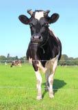 Cow Stock Photos