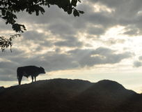 Cow. Silhouette of a cow standing on a hill and a cloudy sky Stock Image