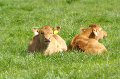 Cow. Two big brown cow on the meadow Stock Photos
