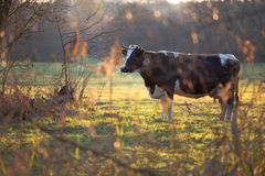 Cow. A black cow in a pasture Royalty Free Stock Photo