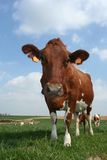 Cow Stock Images