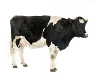Cow Stock Image
