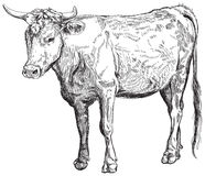 Cow. Black and white sketch Stock Images