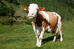 Cow. Pasture in the mountain with brown cow stock photos