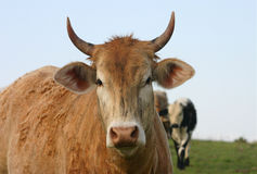 Cow. Red or brindle beef cow with horns, standing out from herd, in pasture Royalty Free Stock Photos