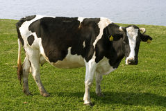 Cow. Milk cows in the green fields Royalty Free Stock Photos