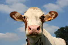 Cow. Head of a cow Stock Image