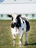 Cow. In a field staring straight into the camera Stock Images