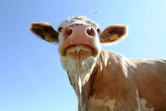 Cow. A pretty dripping cow from Bavaria (Germany Royalty Free Stock Photos