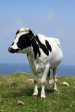 The cow Royalty Free Stock Photography