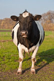 Cow. Black and white cow in the pasture Royalty Free Stock Photos