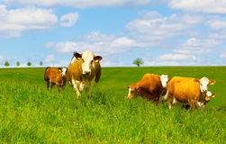 Cow. On a green pasture Royalty Free Stock Photography