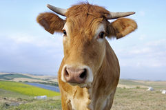 Cow. Brown cow in a field Royalty Free Stock Photos