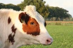 Cow. Close encounter watching me carefully with big eyes in brown skin Royalty Free Stock Image