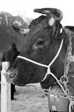 Cow. A cow of the Swiss Herens breed, used for dairy production in the alps Royalty Free Stock Photo