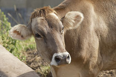 Cow. In Val di Scalve, Alps mountains, Italy stock photo