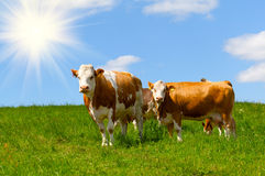 Cow. On a summer pasture with sun Royalty Free Stock Images