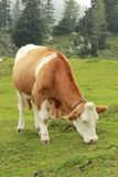 Cow. Is feeding grass in the meadow Stock Images