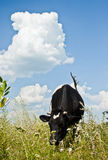 Cow. Black and white cow in the pasture Royalty Free Stock Images