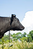 Cow. Black and white cow in the pasture Royalty Free Stock Image