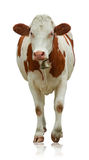 Cow. Standing cow isolated on white Royalty Free Stock Images