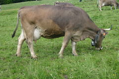 Cow. A Swiss Cow munching away Stock Photography