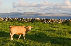Cow. A cow in sharp focus in the foreground on green grass. A soft background consists of Galway Bay and The Burren in Ireland Stock Photos