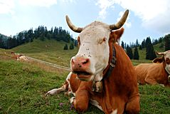 Cow. Is whispering to another Royalty Free Stock Images