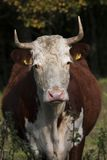 Cow. Close up of hereford cow Stock Photo