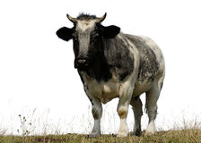 Cow 3. Cow standing in a field eating and isolated from the sky Royalty Free Stock Images
