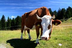 Cow. Image of a cow in Austrian Alps / Tirol Stock Images