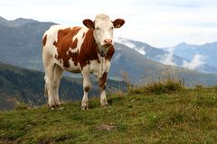 Cow. Image of a cow in Austrian Alps / Tirol Royalty Free Stock Photo