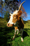 Cow. Dynamic perspective of a cow, shot in wide angle for more depth. Classical autumn scene in the mountains Stock Photo