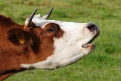 Free Cow Royalty Free Stock Photo - 3381715