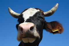 Free Cow Royalty Free Stock Image - 3419246