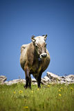 Cow. Looking at the camera Royalty Free Stock Photo