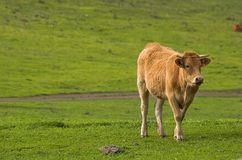 Cow. In freedown stock images