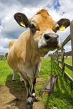 Cow. A jersey cow standing in a field on a sunny day with clouds in the sky Royalty Free Stock Photography