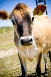 Cow 4. An inquisitive cow staring at the camera Royalty Free Stock Image
