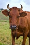 Cow. Village series: portrait of cow given to butting Stock Photography