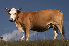 Cow. Grazing in field stock image