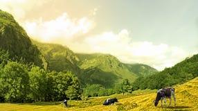 Cow3 Photographie stock libre de droits